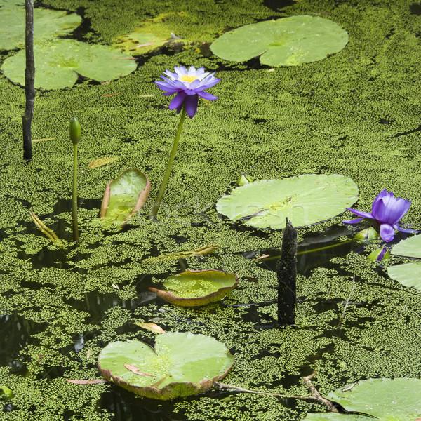 Foto stock: água · lírios · roxo · Austrália · flor