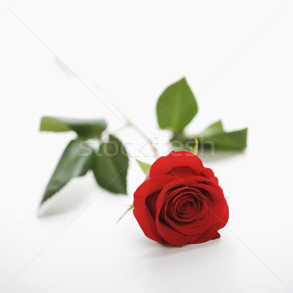 Red rose on white. Stock photo © iofoto