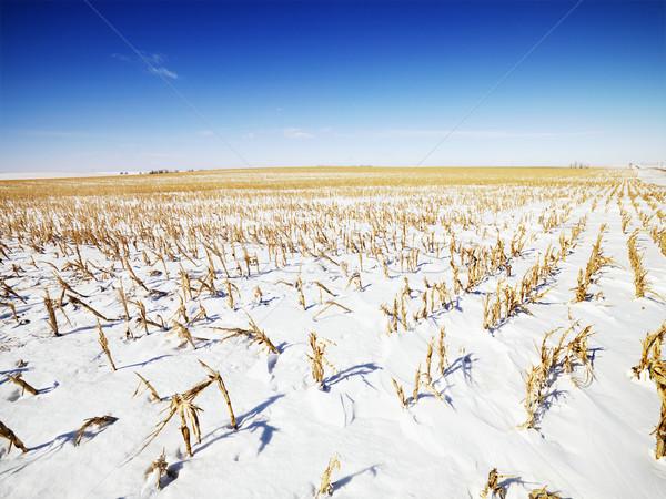 śniegu pokryty kukurydza dziedzinie opuszczony Zdjęcia stock © iofoto