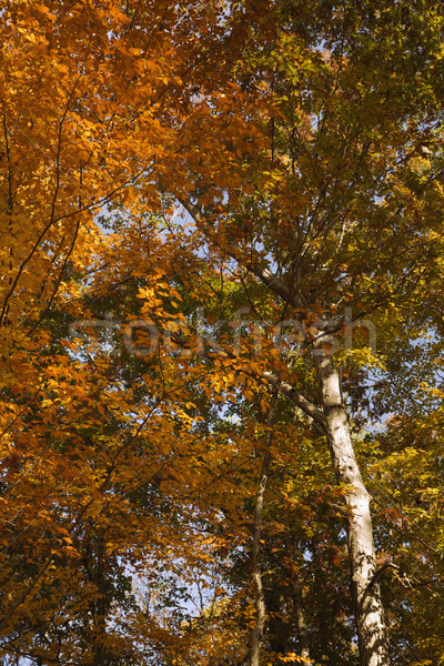 Tree with Fall foliage. Stock photo © iofoto