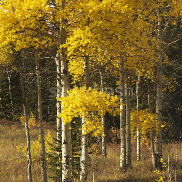 Aspen trees in Wyoming. Stock photo © iofoto