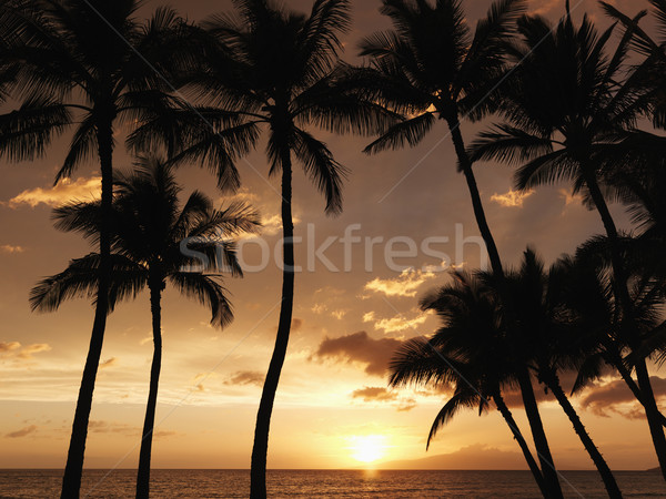 Maui palm trees at sunset. Stock photo © iofoto