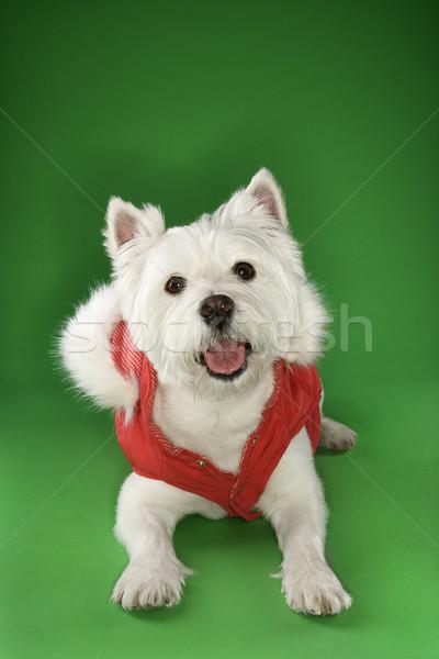 Foto stock: Blanco · terrier · perro · abrigo · rojo