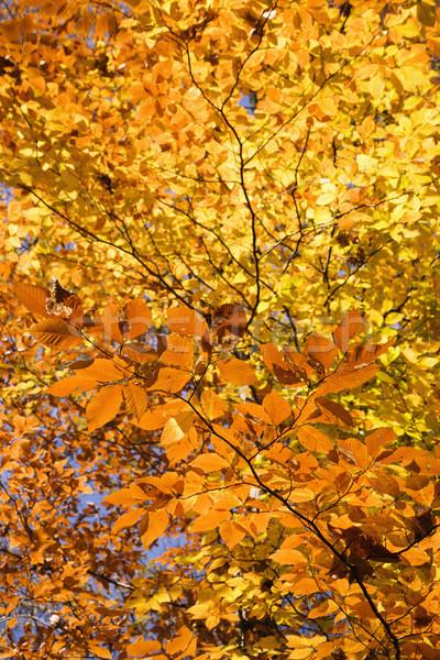 Tree Fall foliage. Stock photo © iofoto