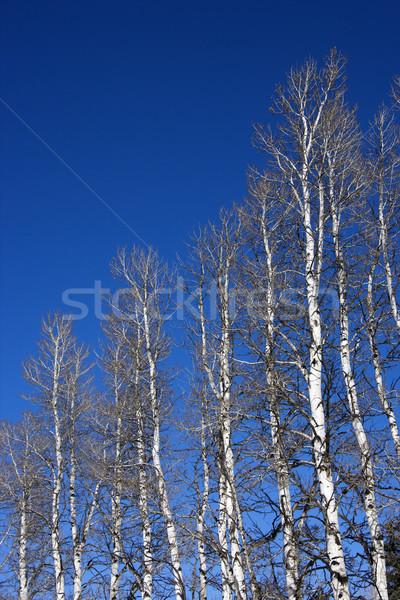 Aspen trees. Stock photo © iofoto