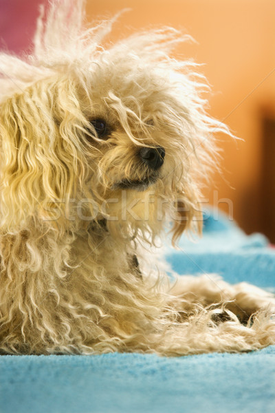 Mixed breed dog. Stock photo © iofoto