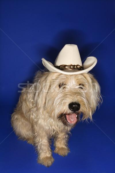 собака ковбойской шляпе пушистый коричневая собака синий Сток-фото © iofoto