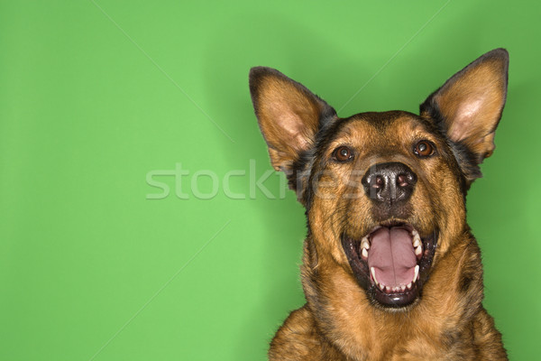 Happy and alert brown dog. Stock photo © iofoto