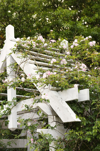 Arbor with blooming rose vine. Stock photo © iofoto