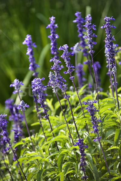 Lavender flower. Stock photo © iofoto