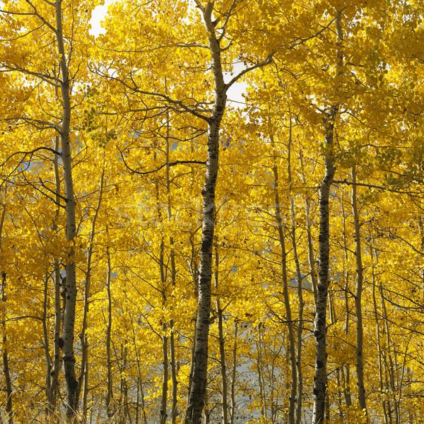 árboles Wyoming amarillo caída color naturaleza Foto stock © iofoto