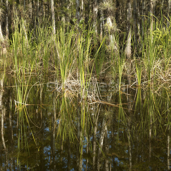 Florida Everglades wetland. Stock photo © iofoto