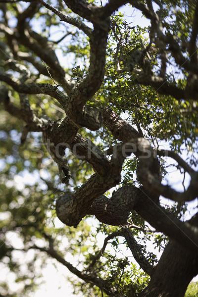 Vivre chêne nature couleur usine environnement Photo stock © iofoto
