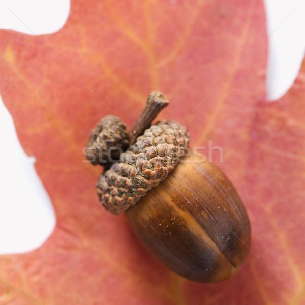 Meşe palamudu meşe yaprak natürmort kırmızı Stok fotoğraf © iofoto