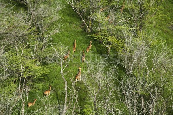 Maui axis deer. Stock photo © iofoto