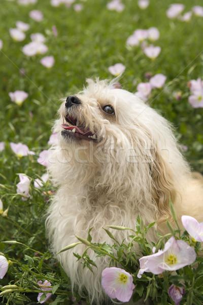 Fluffy small dog in flower field. Stock photo © iofoto