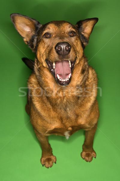 счастливым Cute коричневая собака смешанный сидят Сток-фото © iofoto