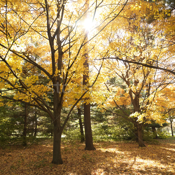 Maple trees in Fall color. Stock photo © iofoto