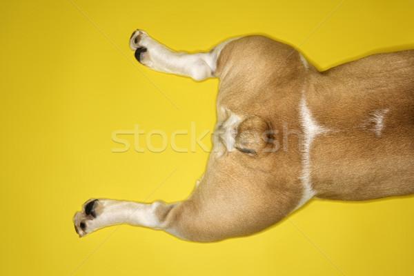 Anglais bulldog jambes jaune chien Photo stock © iofoto