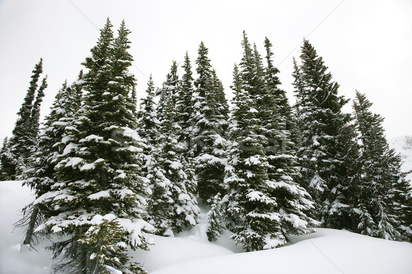 Snow covered pine trees. Stock photo © iofoto