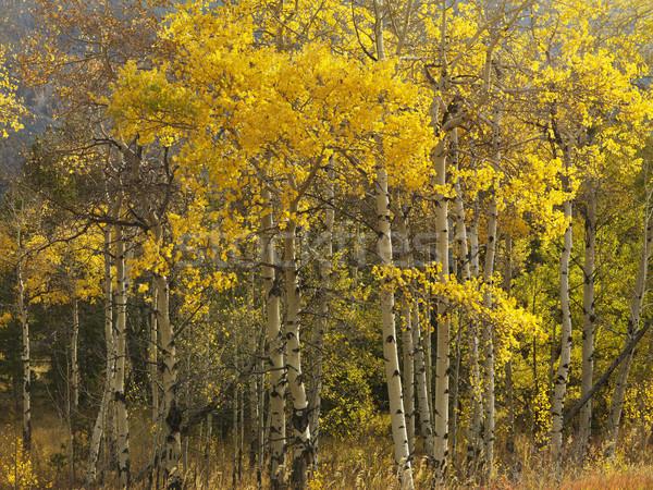 Aspen trees in fall color. Stock photo © iofoto