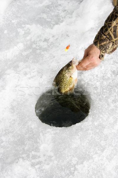 Pulling sunfish through ice hole Stock photo © iofoto