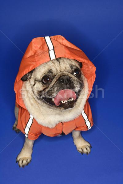 Pug wearing hoodie jacket. Stock photo © iofoto