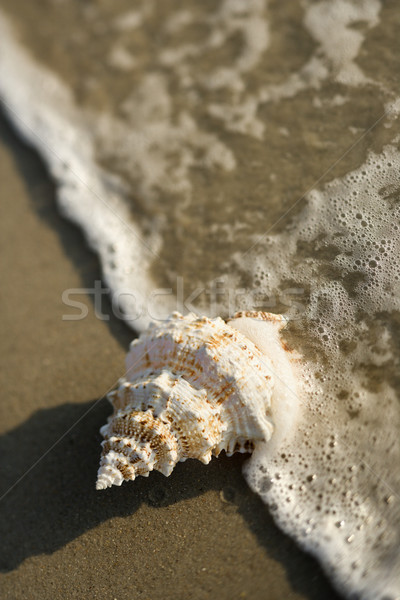 Conch shell in wave. Stock photo © iofoto