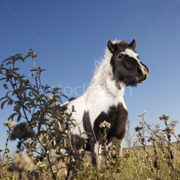 Falabella horse. Stock photo © iofoto