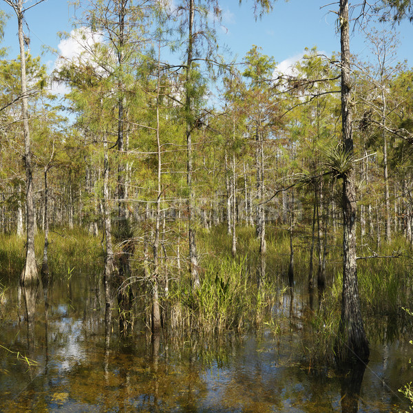 Wetland, Florida Everglades. Stock photo © iofoto