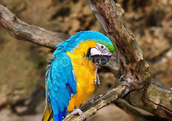 Sarı mavi kuş renk tropikal hayvan Stok fotoğraf © Ionia