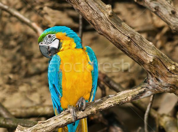 黄色 青 ツリー 鳥 熱帯 動物 ストックフォト © Ionia