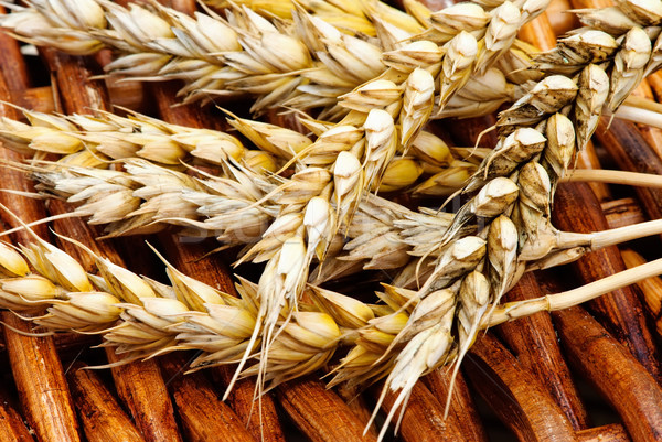 Yellow spikelets wheat Stock photo © Ionia