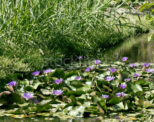 real lake with lotus flowers, wild nature oriental Stock photo © iordani