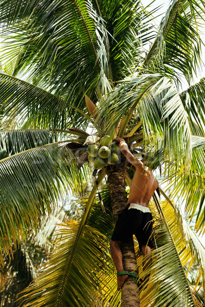 professional climber on coconut treegathering coconuts with rope Stock photo © iordani