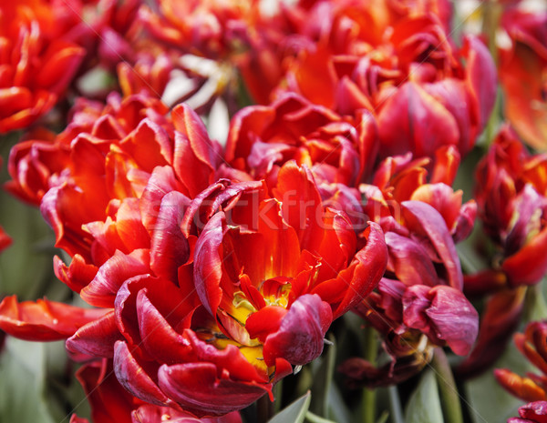 bunch of tulip flowers close up for background, unusual rare shape Stock photo © iordani