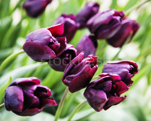 bunch of tulip flowers close up for background close up macro Stock photo © iordani