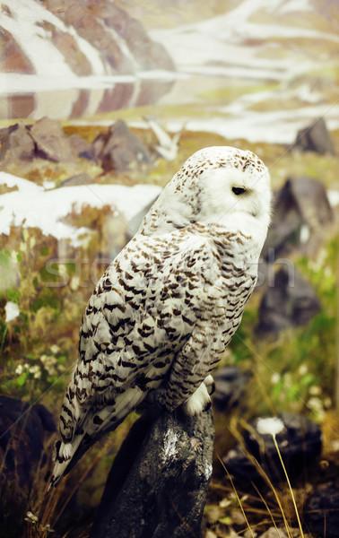 close up portrait of wild nature owl, lifestyle real bird Stock photo © iordani