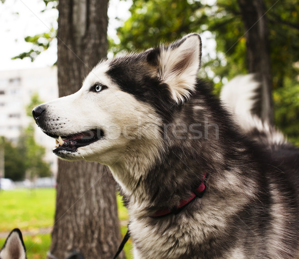 husky dog outside on a leash walking, green grass in park spring Stock photo © iordani