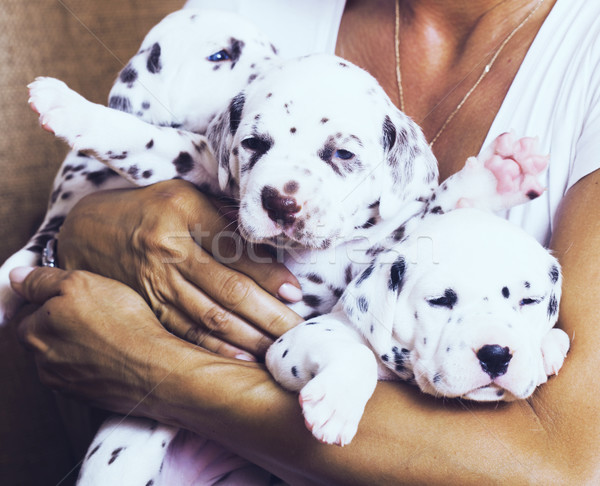 Main humaine beaucoup chiots dalmatien Photo stock © iordani