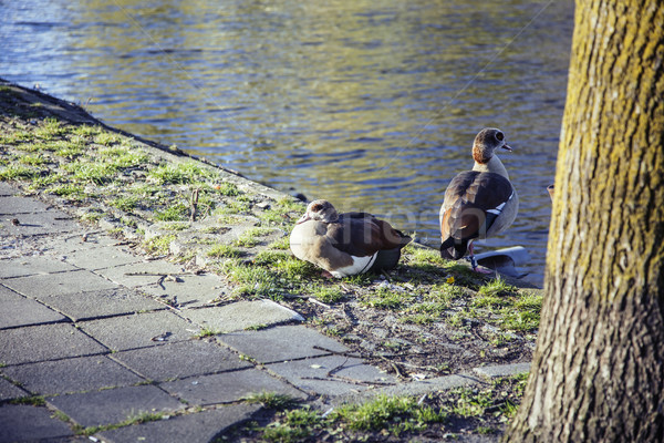 couple of ducks on brick city pavement, wild nature installed in Stock photo © iordani