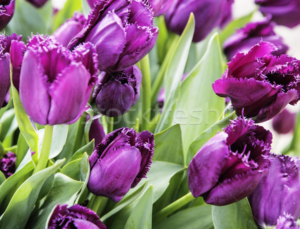 bunch of tulip flowers close up for background, unusual rare sha Stock photo © iordani