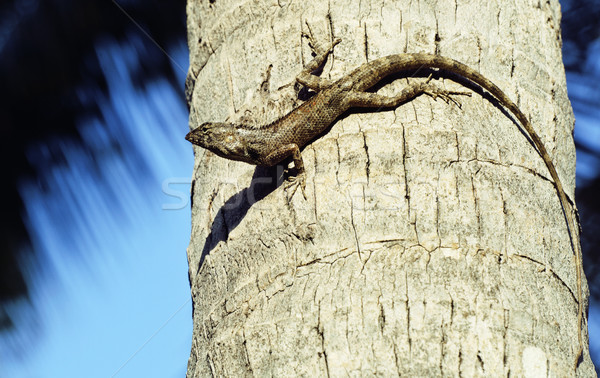 medium lizard in wild nature on palm tree Stock photo © iordani