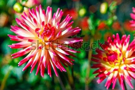 георгин желтые цветы точки парка розовый желтый Сток-фото © iriana88w