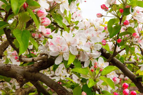 Witte roze voorjaar appel Blur Stockfoto © iriana88w