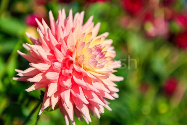 Dahlia flowers in Point Defiance park in Tacoma Stock photo © iriana88w