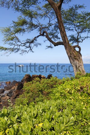 Tropical coast with large tree, ocean and island view over the g Stock photo © iriana88w