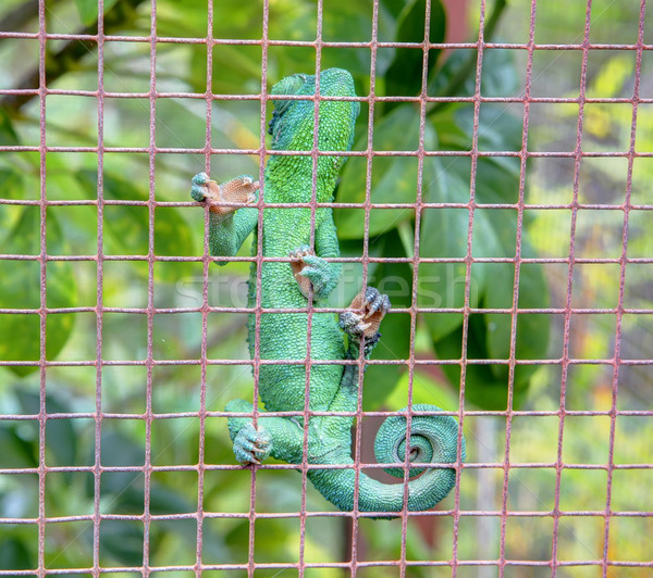 Verde lucertola camaleonte gabbia giardino botanico Foto d'archivio © iriana88w