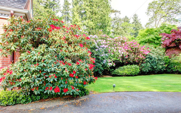 Large bushes of rhododendrons in colorful bloom. Stock photo © iriana88w