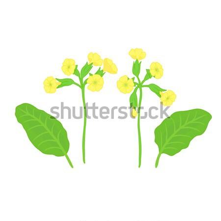 Amarelo prímula conjunto vetor folhas Foto stock © Irinka_Spirid